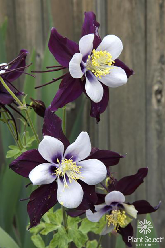 Remembrance Columbine, Aquilegia Swan Violet White, Plant Select