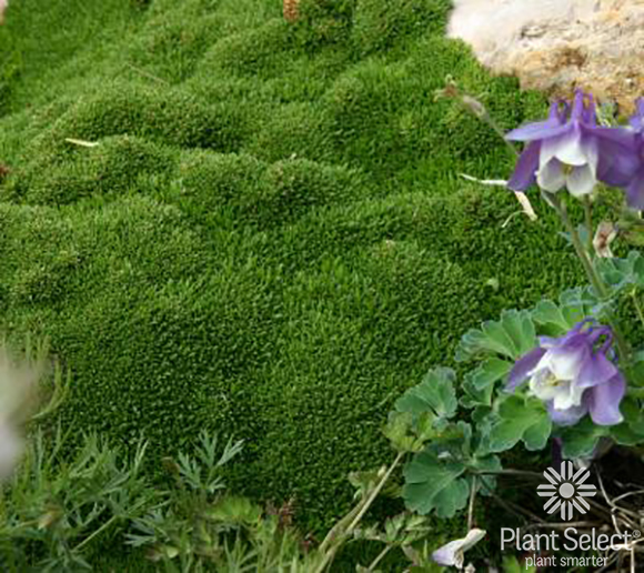 Desert moss, Arenaria Wallowa Mountain Plant Select