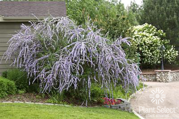 Silver Fountain butterfly bush, Buddleia alternifolia Argentea Plant Select