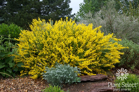 Spanish Gold broom, Cytisus purgans, Plant Select