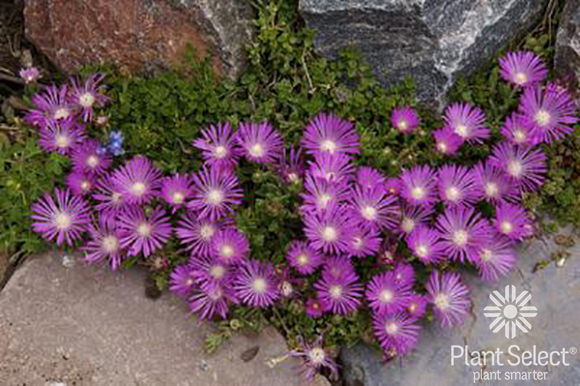 Table Mountain ice plant, Delosperma \'John Proffitt\', Plant Select