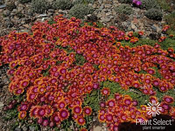 Fire Spinner ice plant, Delosperma \'P001S\', Plant Select