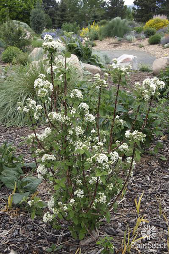 Waxflower, Jamesia americana, Plant Select