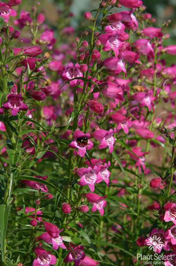 Penstemon Red Rocks, Plant Select