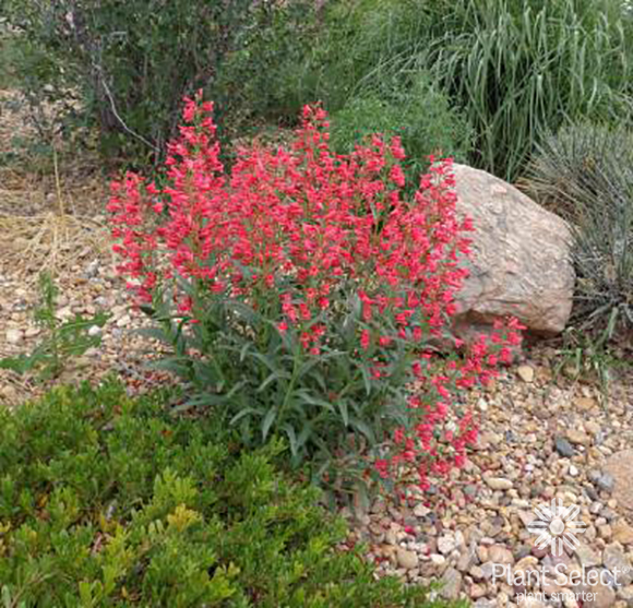 Penstemon x Coral Baby, Coral Baby penstemon, Plant Select, Kelly Grummons