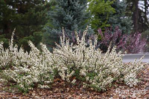 Pawnee Buttes sand cherry, Prunus besseyi, Plant Select