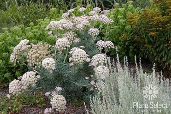 Moon carrot, Seseli gummiferum, Plant Select