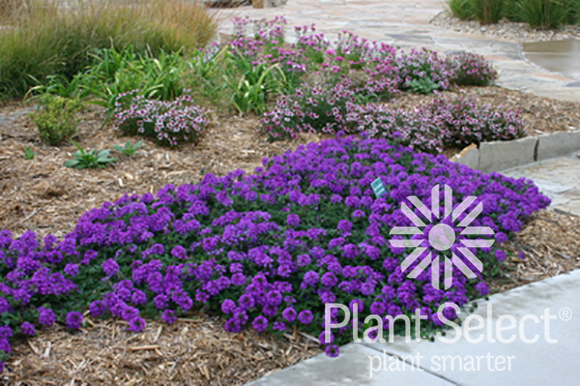 Valley Lavender, Verbena bipinnatifida, Plant Select