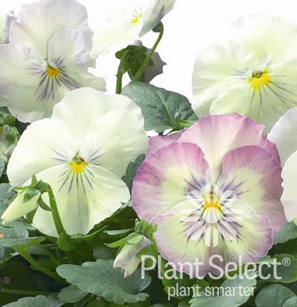Northern Lights pansy, Viola  x wittrockiana \'Northern Lights\', Plant Select