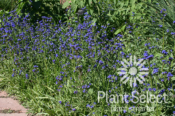 Cape forget me not, Anchusa capensis, Plant Select