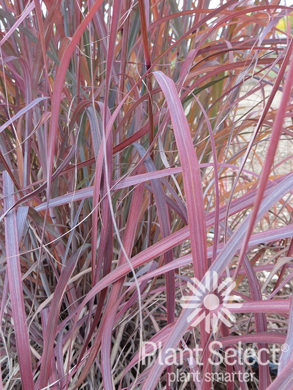 Windwalker big bluestem, Andropogon gerardii, Plant Select
