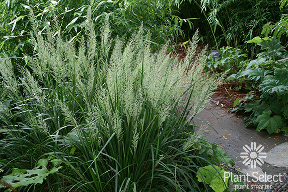 Korean feather read grass, Calamagrostis brachytricha Plant Select
