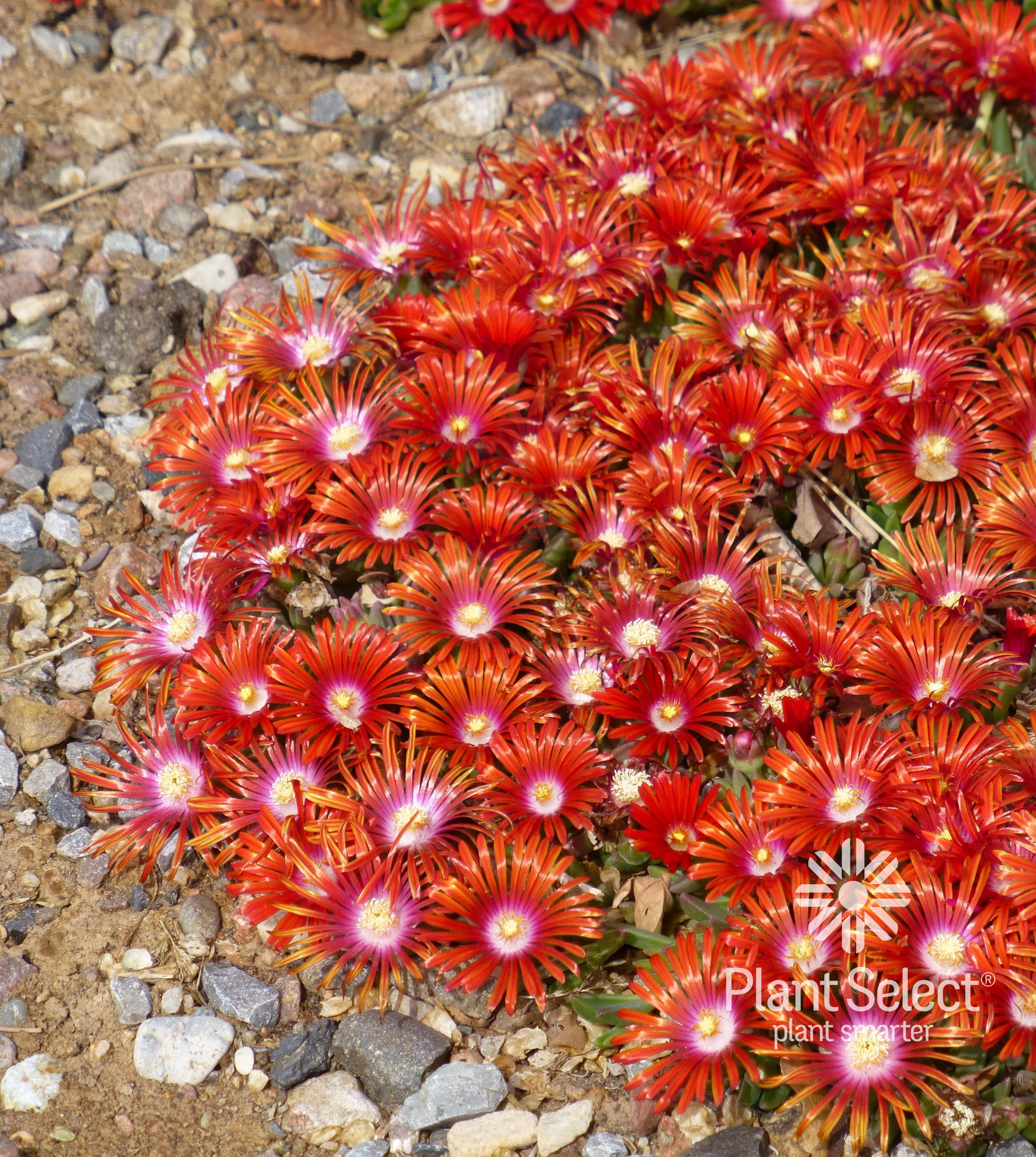 Delosperma Red Mountain Flame ice plant Plant Select