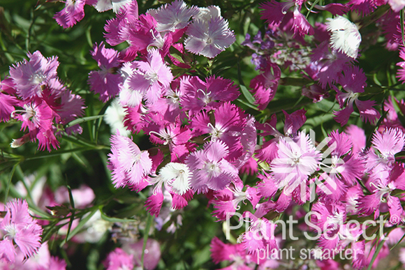 First Love dianthus, Plant Select