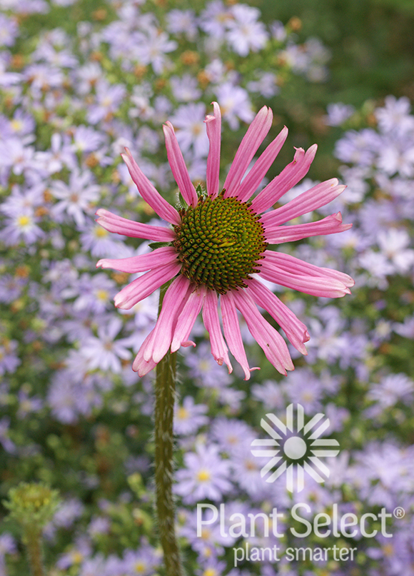 Tennessee purple coneflower, Echinacea tennesseensis, Plant Select