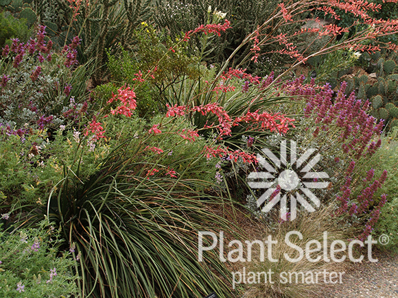 Hesperaloe parviflora, Red yucca, Plant Select
