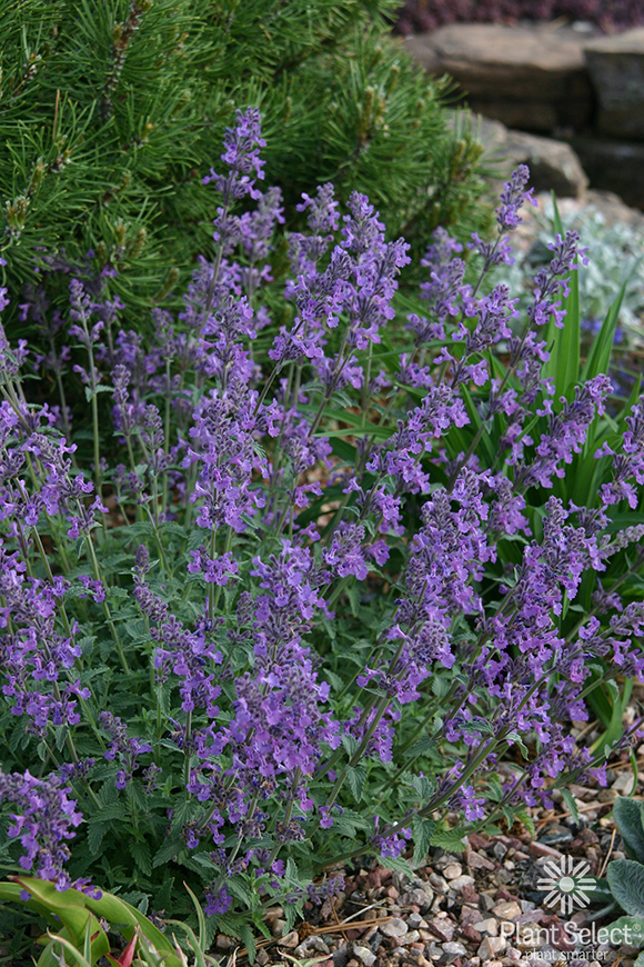 Little Trudy catmint, Nepeta 'Psfike\' PP 18,904, Plant Select