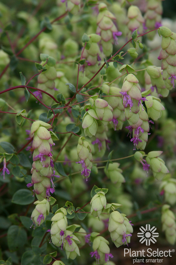 Hopflower oregano, Origanum libanoticum, Plant Select