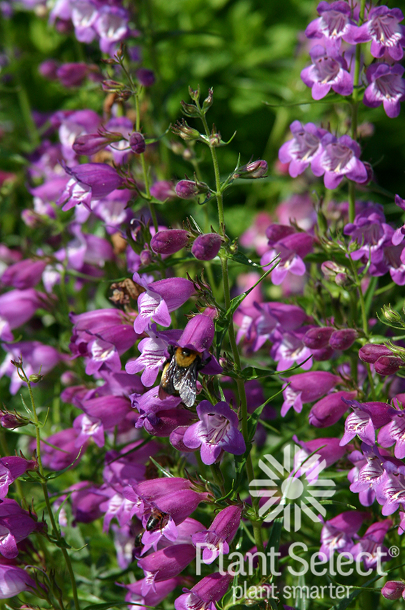 Pikes Peak Purple penstemon, Penstemon x mexicali \'P007S\', Plant Select