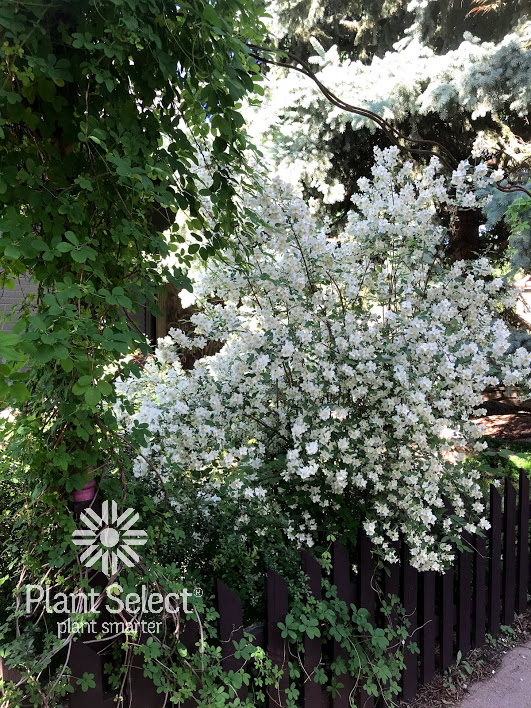 Cheyenne Mock Orange, Philadelphus lewisii, Plant Select