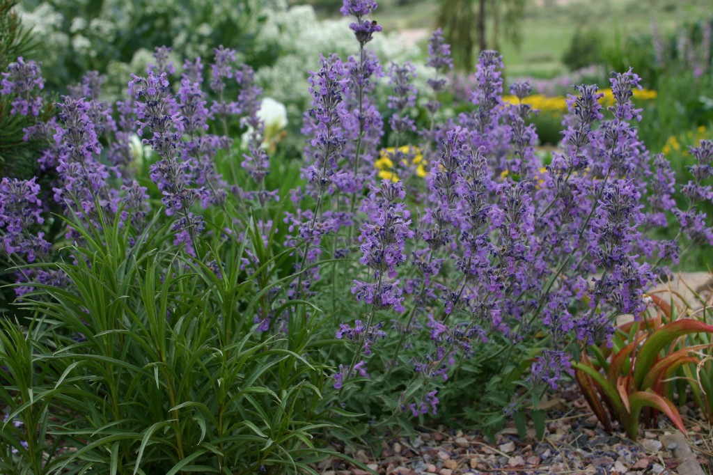 Little Trudy Long Awaited Compact Catmint Plant Select
