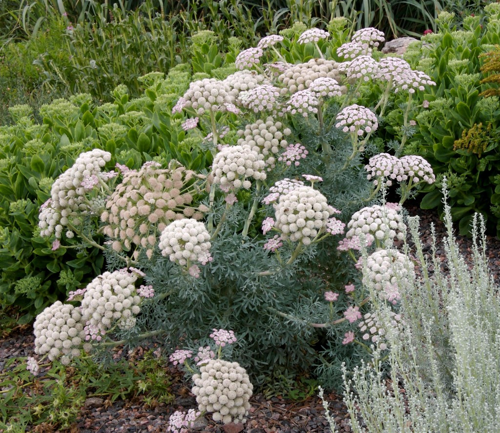 Moon Carrot Interesting Unusual And Fun Plant Select