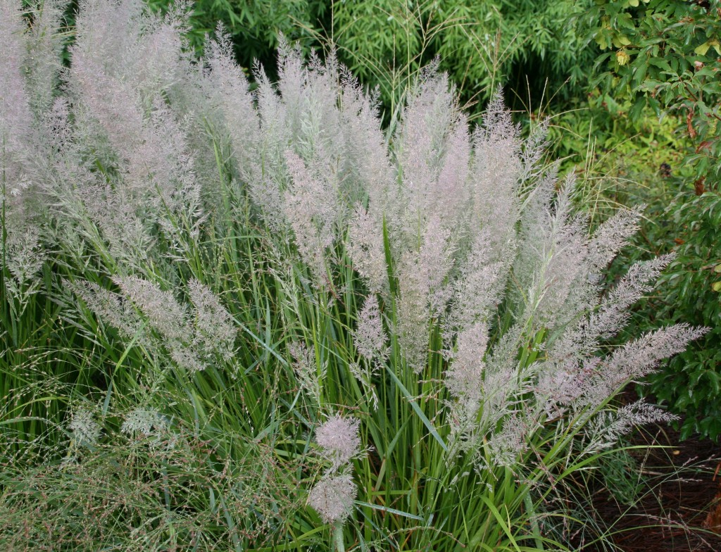 Calamagrostis brachytricha Korean feather reed grass Plant Select