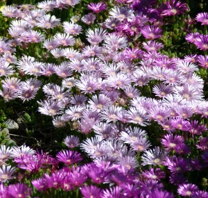 Delosperma Lavender Ice CROP