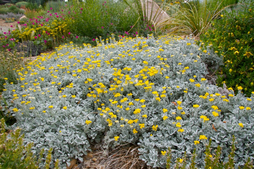 Tanacetum densum ssp. Amani Partridge Feather Plant Select
