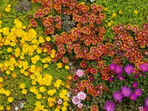 Table Mountain Fire Spinner and Lavender Ice Delosperma Plant Select