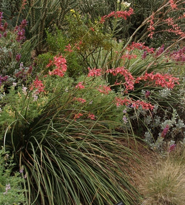 Hesperaloe parviflora Red Yucca Plant Select