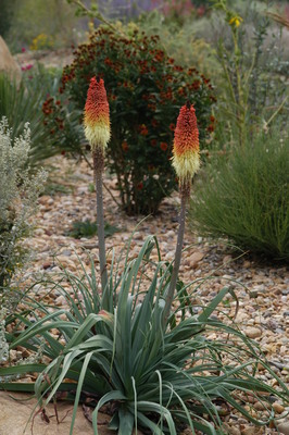 Kniphofia caulescens Regal Torchlily Plant Select