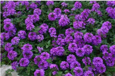 Valley lavender plains verbena gem of the prairie plant select