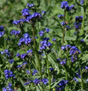 Anchusa capensis Summer forget me not Plant Select
