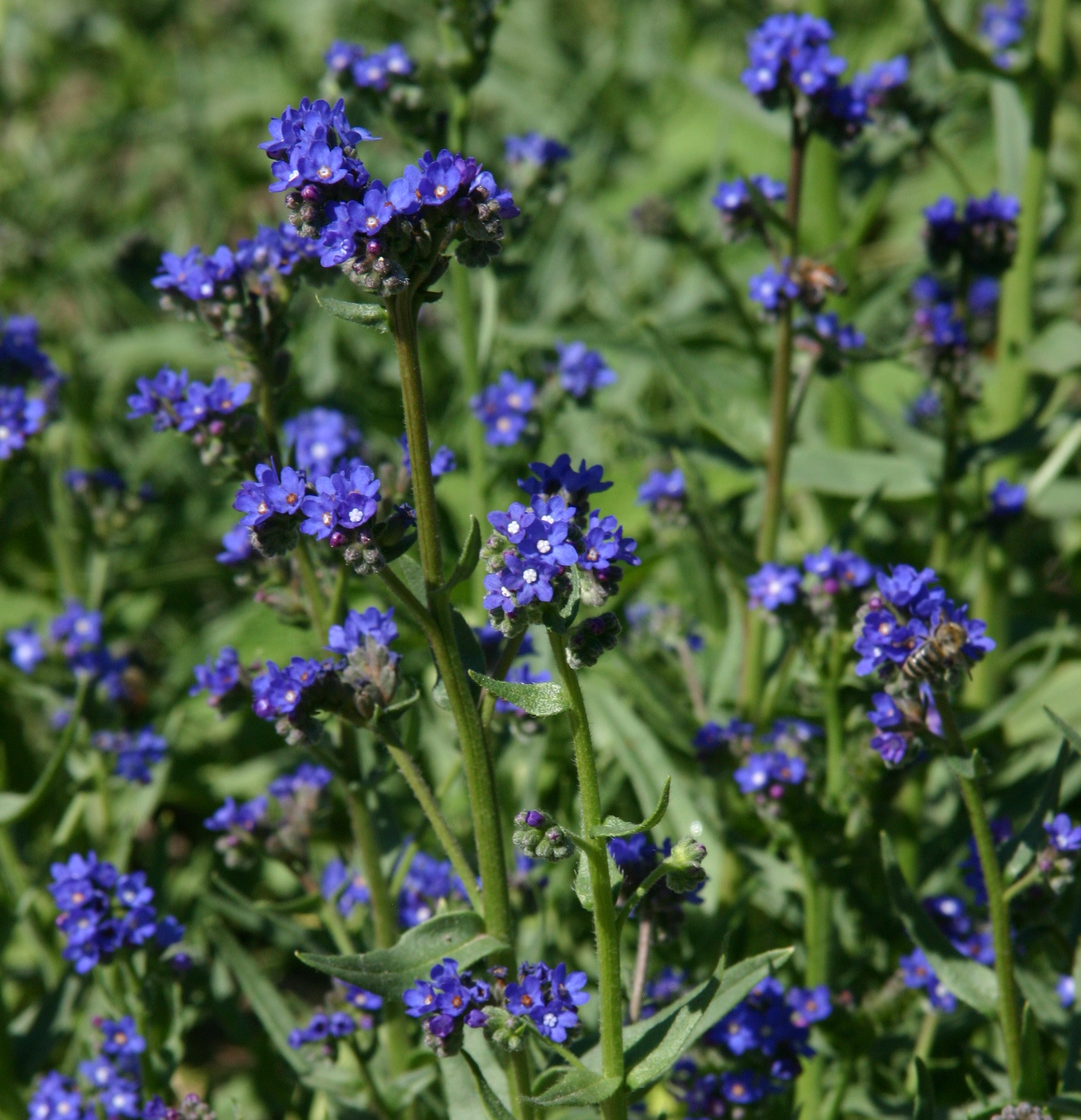 Summer forget me not anchusa plant select anchusa capensis summer forget me not plant select blue is the missing link in izmirmasajfo