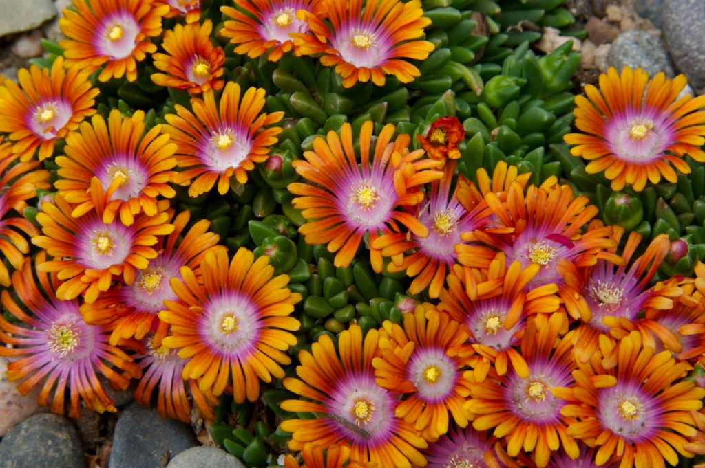 Delosperma 'P001S' Fire Spinner ice plant Plant Select