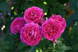 Rosa Ruby Voodoo Plant Select