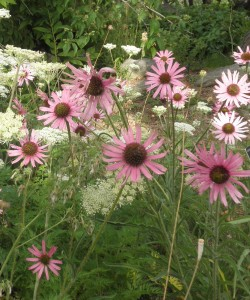 Echinacea tennesseensis Tennessee purple coneflower Plant Select