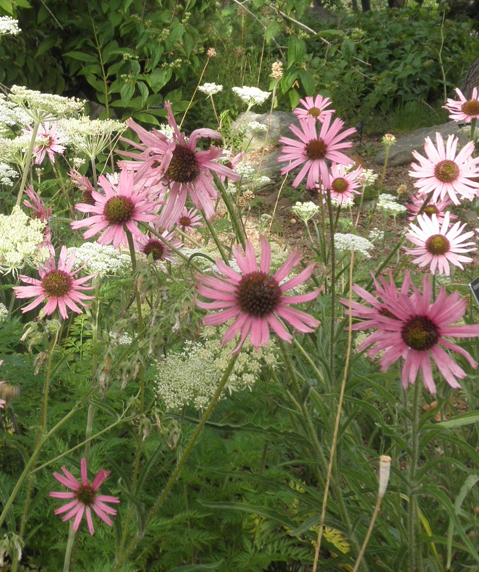 A Conservation Success Story Tennessee Purple Coneflower Plant Select
