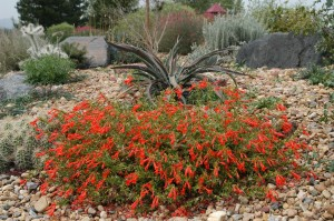 Zauschneria garrettii Orange Carpet hummingbird trumpet Plant Select