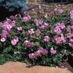 Dalmation Pink Cranesbill, Geranium dalmaticum, Plant Select