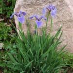 Dwarf Beach-Head Iris, Iris hookeri, I. setosa ssp. canadensis, Plant Select