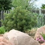 Dwarf pinon pine, Pinus edulis, Plant Select