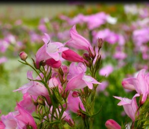 Penstemon x mexicali Carolyn's Hope Plant Select