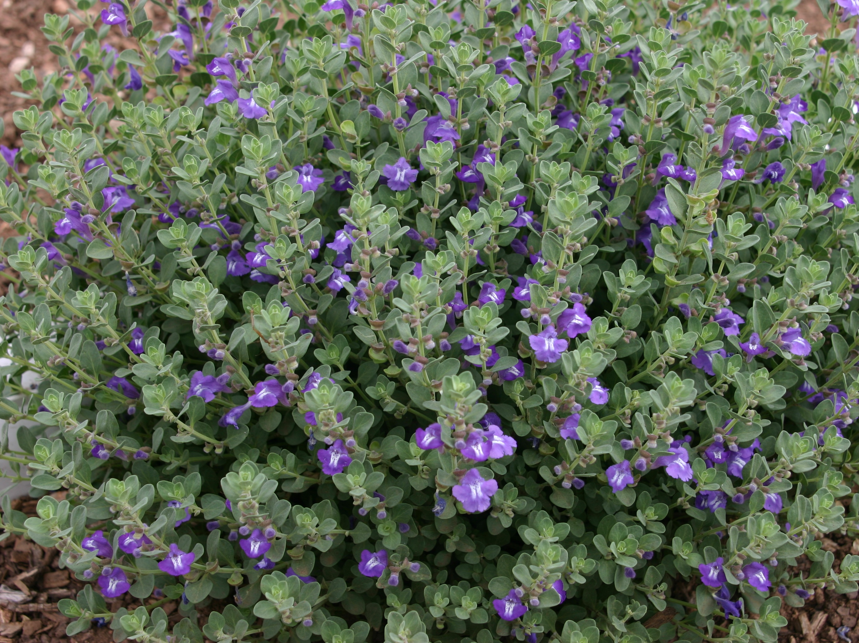 True blue native wildflower scutellaria plant select scutellaria resinosa smoky hills plant select izmirmasajfo