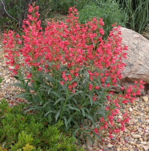 Penstemon Coral Baby Plant Select