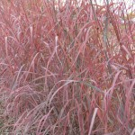 Andropogon gerardii WIndwalker big bluestem