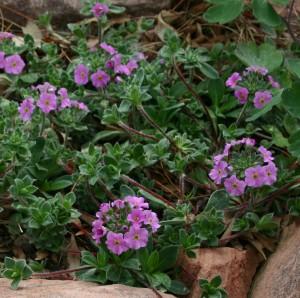 silky rock jasmine, androsace sarmentosa 'Chumbyi'