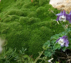 Arenaria Wallowa Mountain Plant Select