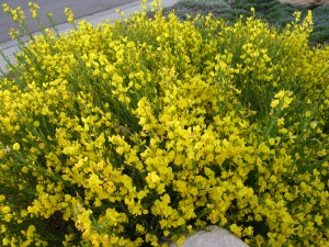 Cytisus purgans-David.Staats